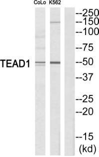 TEF1 Antibody (PA5-38598) in Western Blot