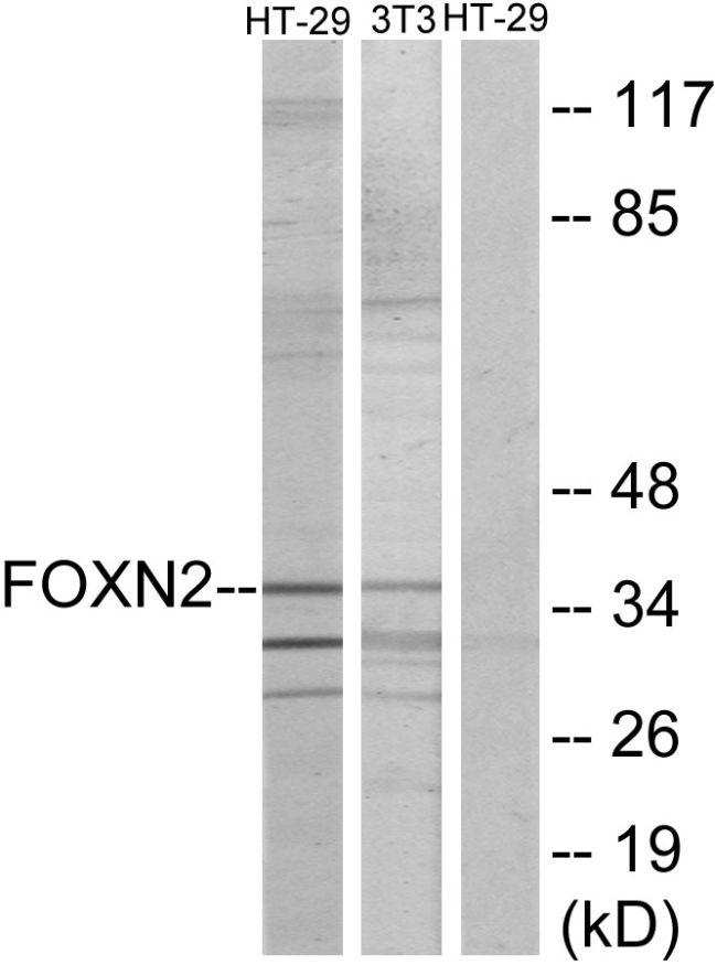 FOXN2 Antibody (PA5-38602)