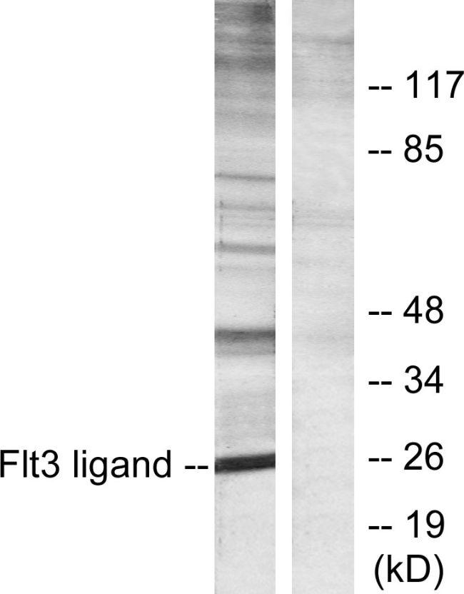 FLT3LG Antibody (PA5-38618)