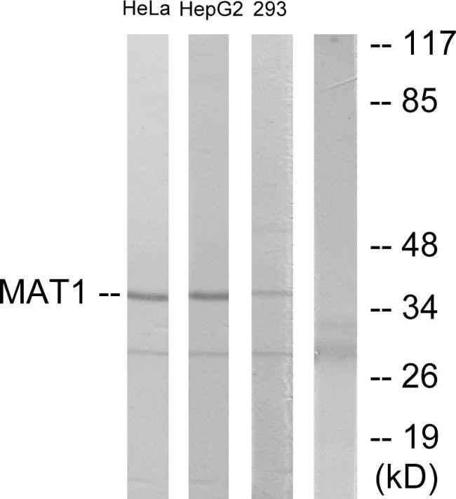 MNAT1 Antibody (PA5-38624)