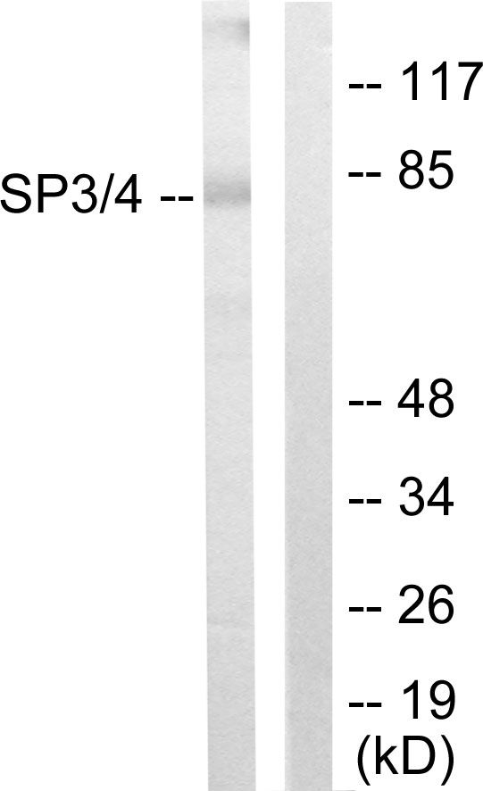 SP3/SP4 Antibody (PA5-38652)