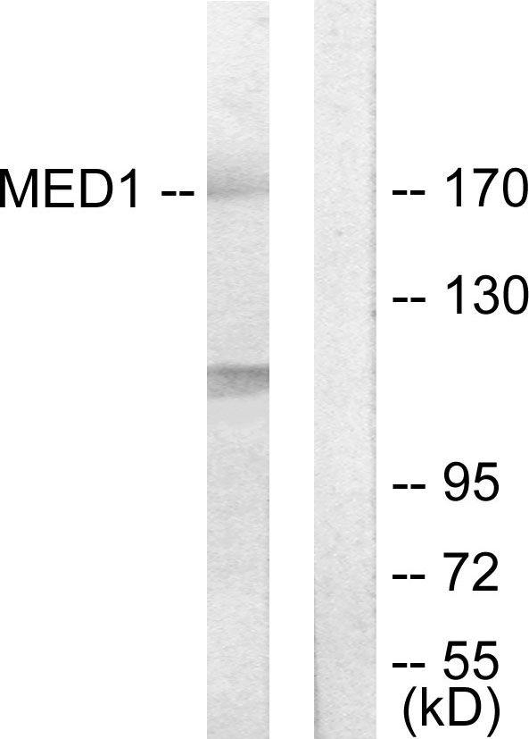 TRAP220 Antibody (PA5-38687) in Western Blot
