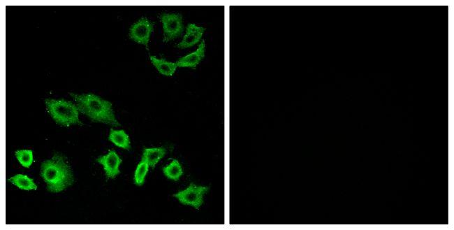 RhoH Antibody (PA5-38688) in Immunofluorescence
