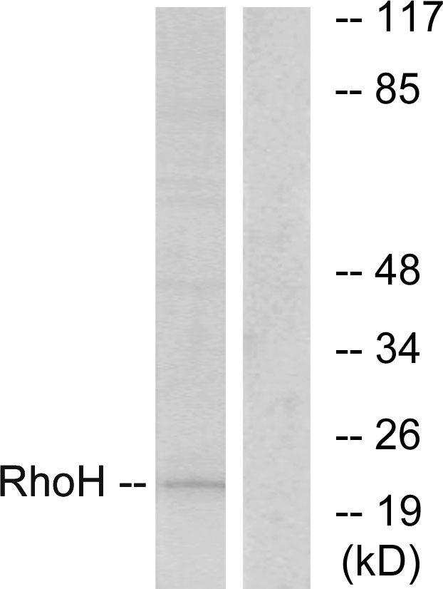 RhoH Antibody (PA5-38688) in Western Blot