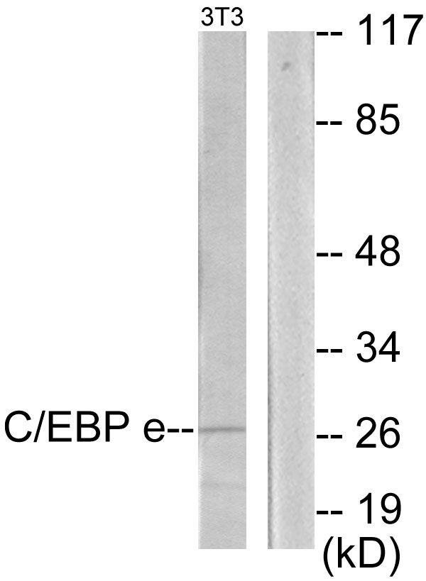 C/EBP epsilon Antibody (PA5-38691)