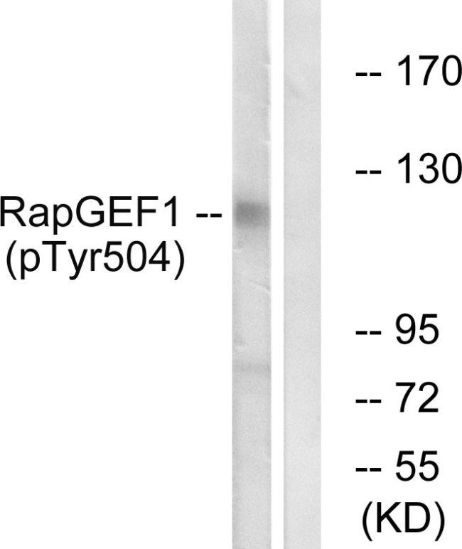 Phospho-RAPGEF1 (Tyr504) Antibody (PA5-38705) in Western Blot