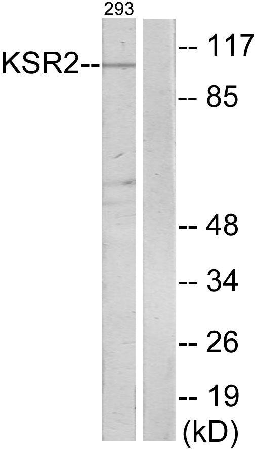 KSR2 Antibody (PA5-38713) in Western Blot