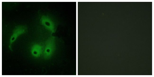AKAP14 Antibody (PA5-38721)