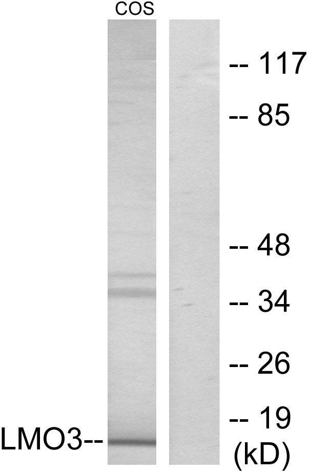 LMO3 Antibody (PA5-38742) in Western Blot
