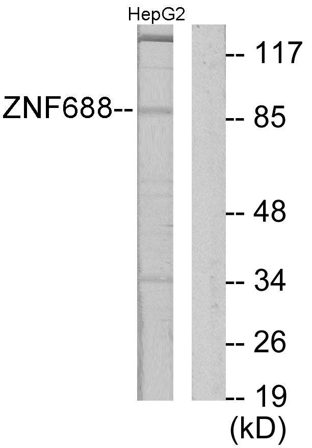 ZNF688 Antibody (PA5-38749)