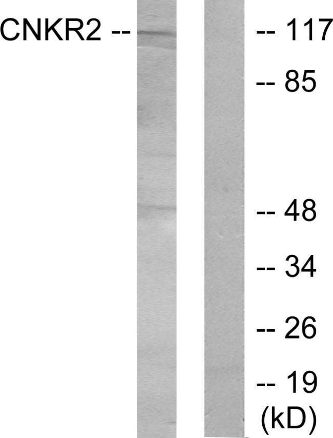CNKSR2 Antibody (PA5-38751)