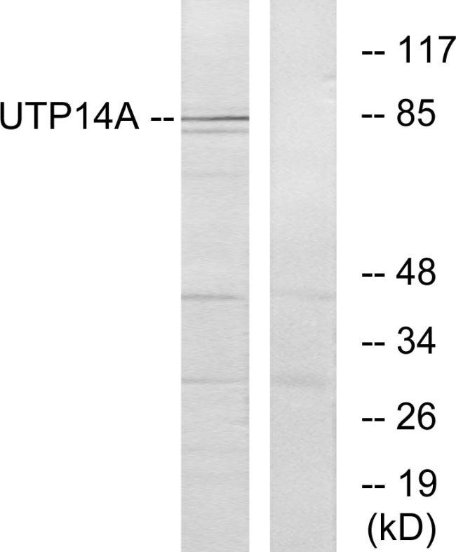 UTP14A Antibody (PA5-38778) in Western Blot