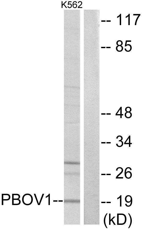 PBOV1 Antibody (PA5-38786)