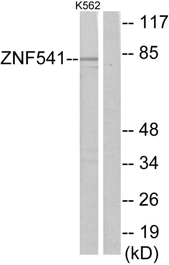 ZNF541 Antibody (PA5-38788) in Western Blot
