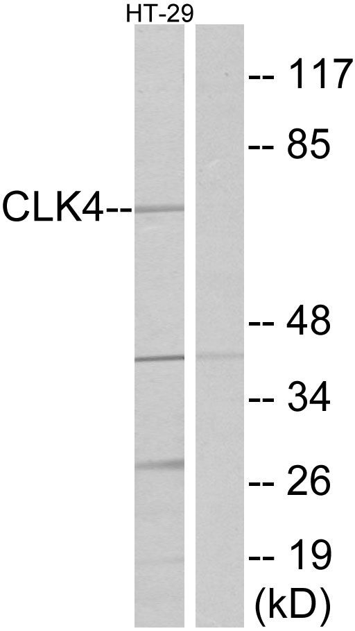 CLK4 Antibody (PA5-38797)