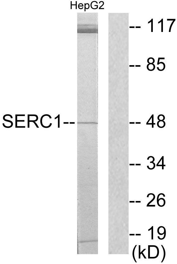 SERC1 Antibody (PA5-38805)