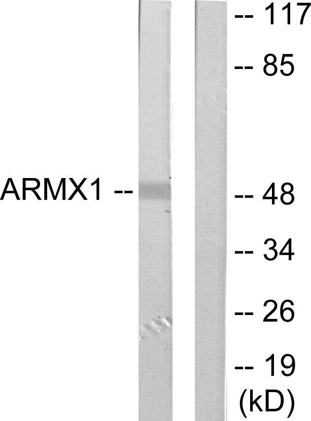 ARMX1 Antibody (PA5-38812)