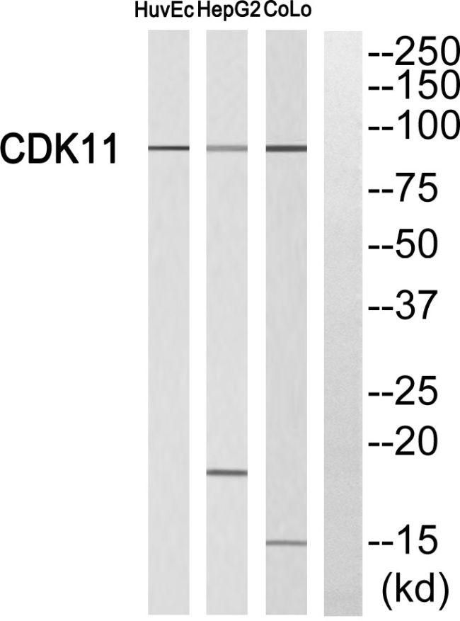 CDK11A Antibody (PA5-38829) in Western Blot