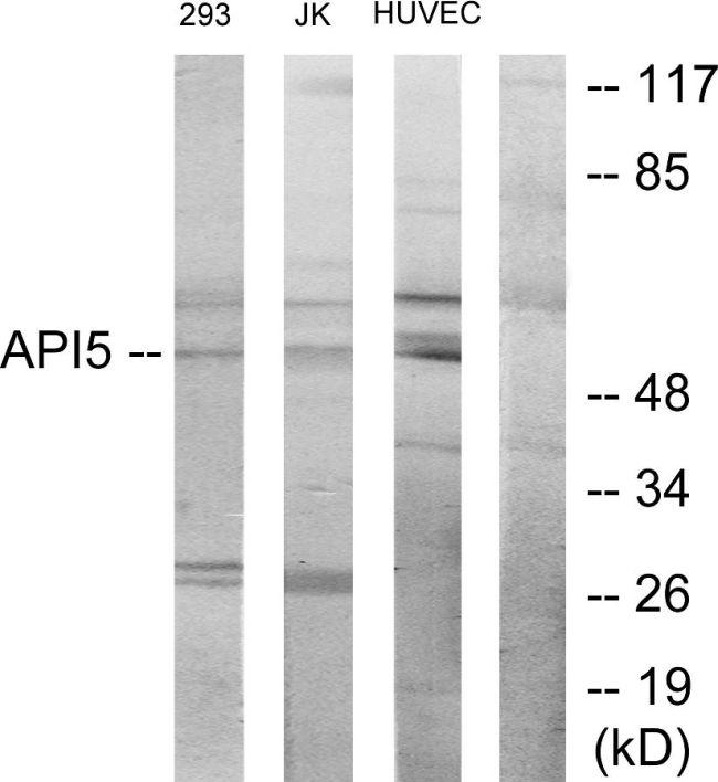 API5 Antibody (PA5-38847) in Western Blot