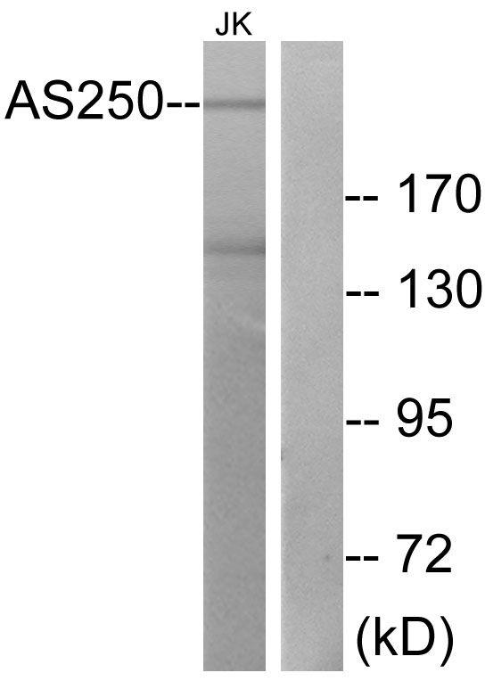 RALGAPA2 Antibody (PA5-38853) in Western Blot