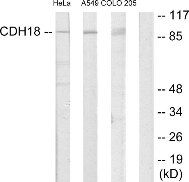 CDH18 Antibody (PA5-38855) in Western Blot
