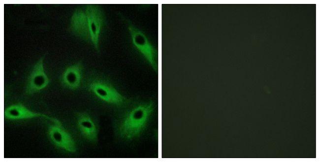 CDH9 Antibody (PA5-38860)