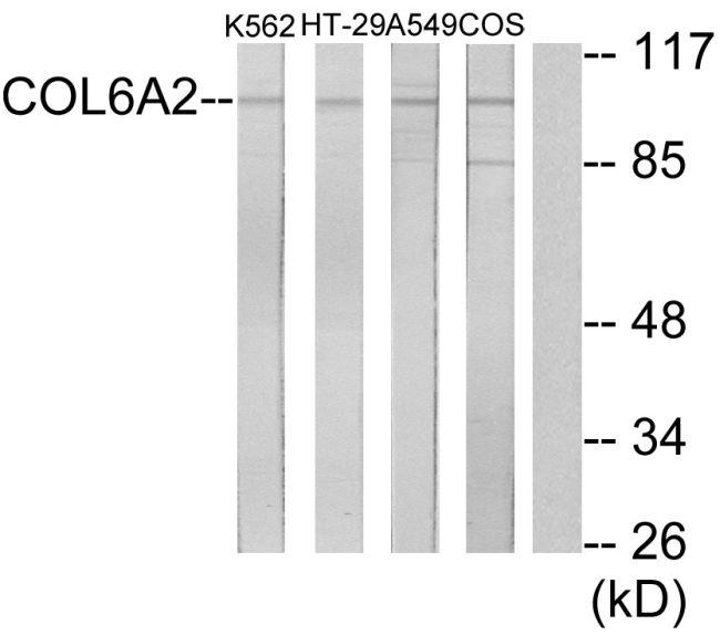 COL6A2 Antibody (PA5-38882) in Western Blot