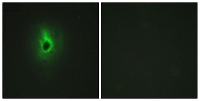 COL6A3 Antibody (PA5-38883)