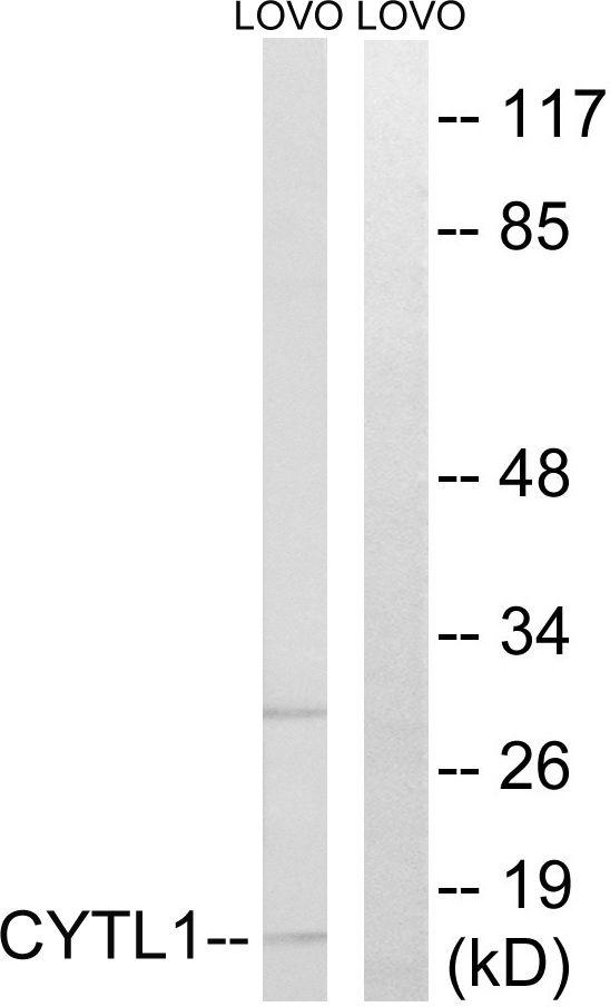 CYTL1 Antibody (PA5-38912) in Western Blot