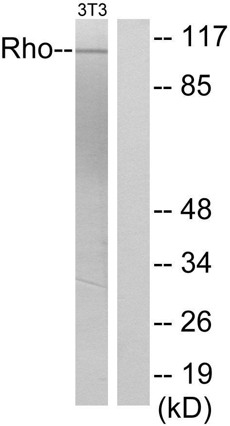 GEF-H1 Antibody (PA5-38917)