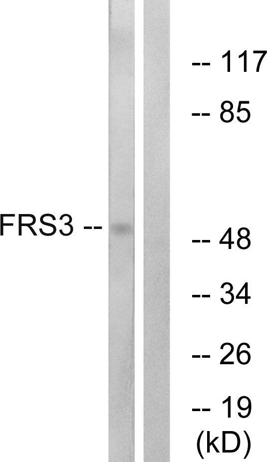 FRS3 Antibody (PA5-38921)