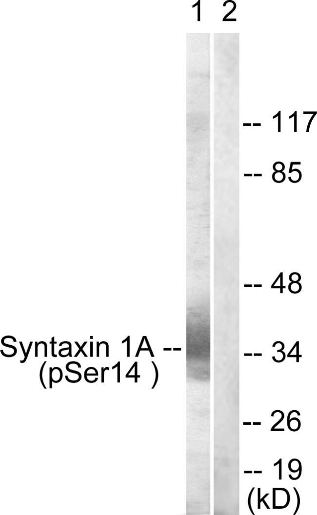Phospho-Syntaxin 1 (Ser14) Antibody (PA5-38923) in Western Blot