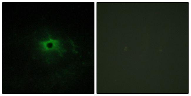 Laminin alpha-4 Antibody (PA5-38938) in Immunofluorescence