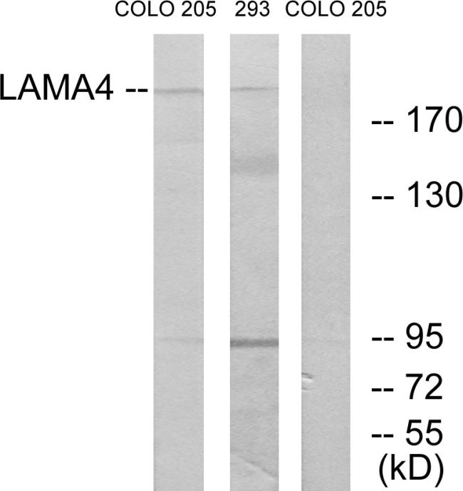 Laminin alpha-4 Antibody (PA5-38938) in Western Blot