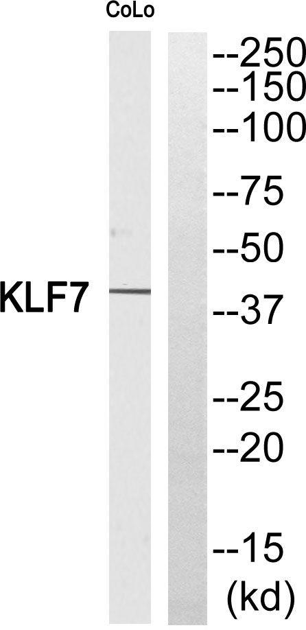 KLF7 Antibody (PA5-38944) in Western Blot
