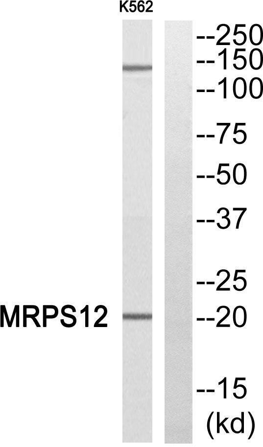 MRPS12 Antibody (PA5-38947)