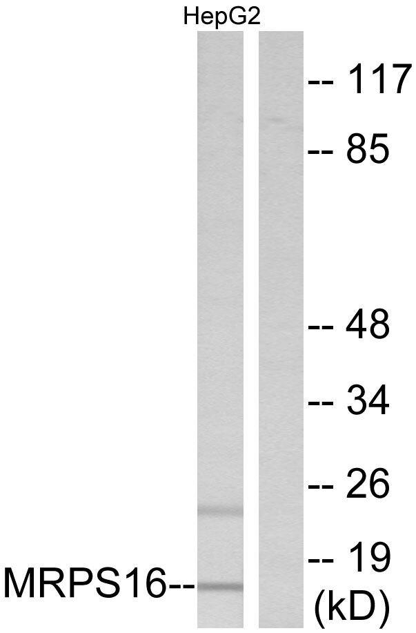 MRPS16 Antibody (PA5-38948) in Western Blot