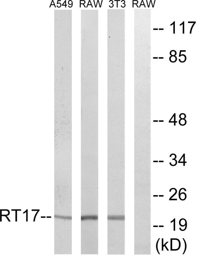 MRPS17 Antibody (PA5-38949) in Western Blot