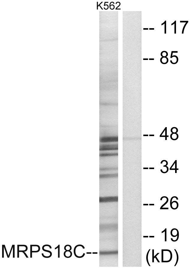 MRPS18C Antibody (PA5-38951) in Western Blot