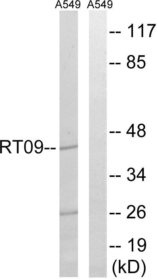 MRPS9 Antibody (PA5-38954) in Western Blot