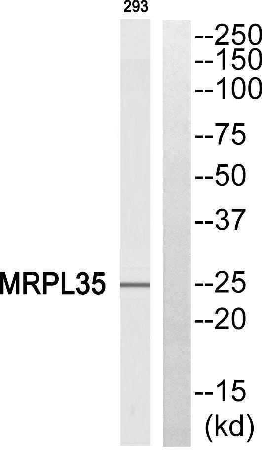 MRPL35 Antibody (PA5-38964) in Western Blot