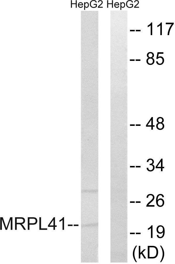 MRPL41 Antibody (PA5-38966) in Western Blot