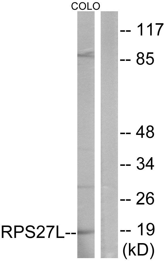 RPS27L Antibody (PA5-38974) in Western Blot