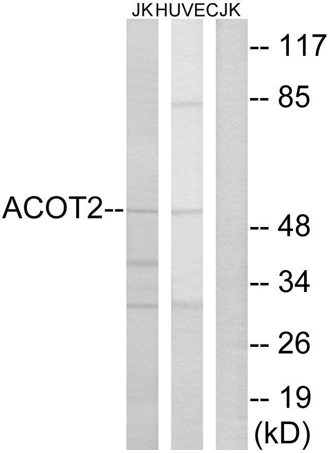 ACOT2 Antibody (PA5-39006)