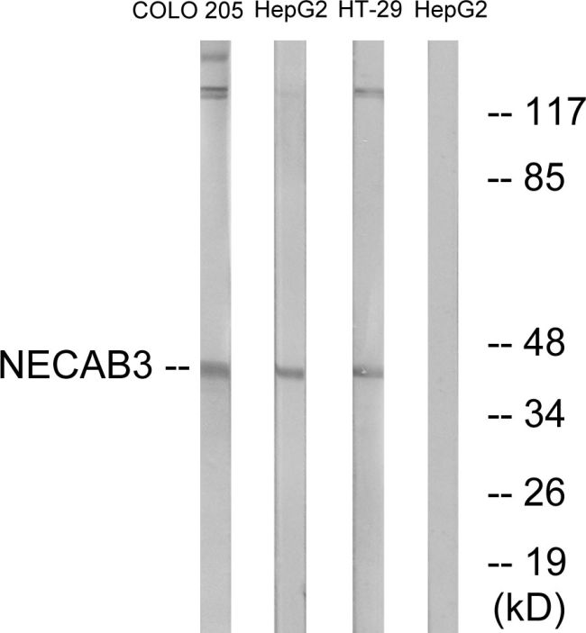NECAB3 Antibody (PA5-39020) in Western Blot