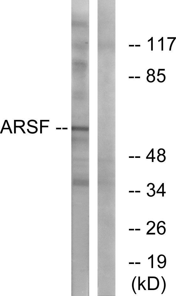 Arylsulfatase F Antibody (PA5-39030)