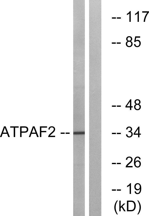 ATPAF2 Antibody (PA5-39036)