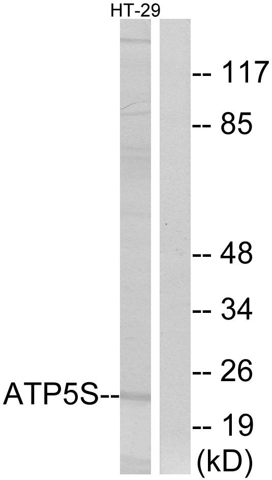 ATP5S Antibody (PA5-39038) in Western Blot