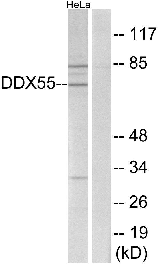 DDX55 Antibody (PA5-39044)