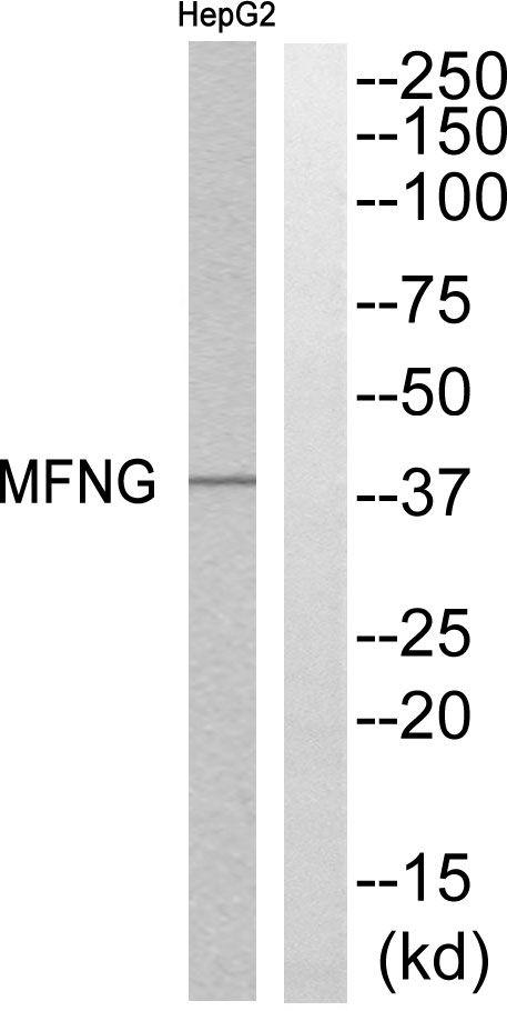 MFNG Antibody (PA5-39055) in Western Blot